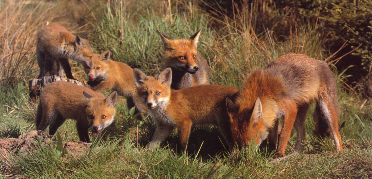 Fuchsfamilie